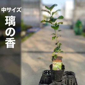 璃の香 りのか レモン 苗木(PVP)【ベランダで育成】 鉢植え 接ぎ木苗 ポット植え[中] 柑橘 果樹
