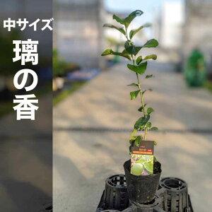 璃の香 りのか 苗木 【ベランダで育成】 鉢植え 接ぎ木苗 ポット植え[中] 柑橘 果樹 レモン