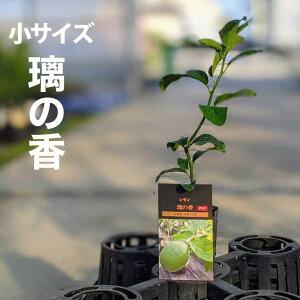 璃の香 りのか 苗木 【ベランダで育成】 鉢植え 接ぎ木苗 ポット植え[小] 柑橘 果樹 レモン