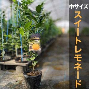 スイートレモネード 苗 苗木 【ベランダで育成】 鉢植え 接ぎ木苗 ポット植え [中] 柑橘 果樹 レモン