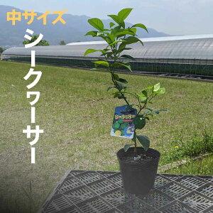 シークワーサー 苗 苗木 【ベランダで育成】 鉢植え 接ぎ木苗 ポット植え [中] 柑橘 果樹 しーくわーさー シークヮサー