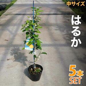 【5本セット】みかん 苗木 はるか 【ベランダで育成】 鉢植え 接ぎ木苗 5号鉢植え 果樹 みかん ミカン