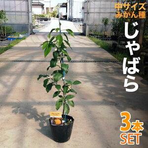 【3本セット】みかん 苗木 じゃばら [中]【ベランダで育成】 鉢植え 接ぎ木苗 5号鉢植え 果樹 みかん ミカン