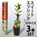 【3本セット】 みかん スイートスプリング 苗木【ベランダで育成】 鉢植え 接ぎ木苗 9cmポット[小] 果樹