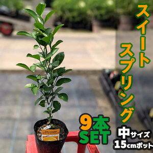 【9本セット】 みかん スイートスプリング 苗木 【ベランダで育成】 鉢植え 接ぎ木苗 ポット植え [中] 果樹