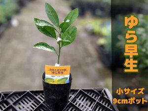みかん 苗木 ゆら早生 【ベランダで育成】 鉢植え 接ぎ木苗 [小]9cmポット 温州 果樹 ミカン