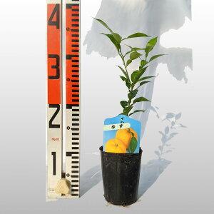 【ベランダで育成】柚子(ゆず)苗木 柑橘 鉢植え 接ぎ木苗 9cmポット[小] 果樹