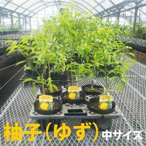 【ベランダで育成】柚子(ゆず)苗木 柑橘 鉢植え 接ぎ木苗 ポット植え [中] 果樹