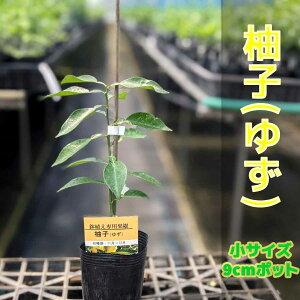 柚子(ゆず) 苗木【ベランダで育成】柑橘 鉢植え 接ぎ木苗[小]9cmポット 果樹 本柚子