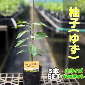 【5本セット】 柚子(ゆず)苗木 【ベランダで育成】 柑橘 鉢植え 接ぎ木苗 9cmポット[小] 果樹 本柚子