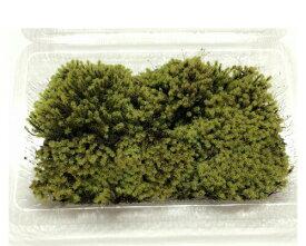 スナゴケ LLサイズ テラリウム コケリウム 苔テラリウム アクアリウム 観葉植物 園芸 植木鉢 苔盆栽 苔好き コケインテリア 苔 コケ