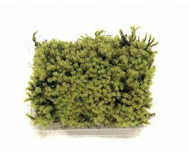 スナゴケ Sサイズ テラリウム コケリウム 苔テラリウム アクアリウム 観葉植物 園芸 植木鉢 苔盆栽 苔好き コケインテリア 苔 コケ