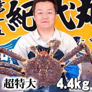 北海道産 超特大かに 活たらばがに オス 4.4kg前後 茹でたてなら到着後、すぐ食べられる未冷凍のたらば蟹です。活カニならではのお刺身用でも食べられます。焼きガニ、蒸し蟹もでき