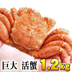 (巨大サイズ) 北海道産 活毛蟹 1.2kg前後 毛ガニの美味しさを味わうなら、未冷凍の活け活カニ 毛がにの醍醐味でもあるカニ味噌。活毛ガニならかにのお刺身、焼きガニが食べられます