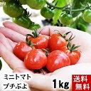 (送料無料)ミニトマト フルーツトマト プチぷよ 合計1kg(1玉あたり、15g〜20g 50個前後入り) 無農薬栽培。皮が薄…