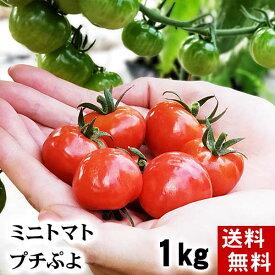 (送料無料)ミニトマト フルーツトマト プチぷよ 合計1kg(1玉あたり、15g〜20g 50個前後入り) 無農薬栽培。皮が薄い、ぷよぷよ質感の、北海道産ミニとまと ぷちぷよ、フルーツ感覚でお召し上がりください。北海道グルメ食品 野菜・きのこ トマト