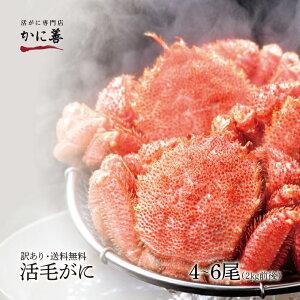 訳あり 活毛ガニ 4〜6尾セット (合計2kg前後 / 配達日指定不可) 北海道産 冷蔵 かに 毛蟹 活かに 活蟹 刺身も