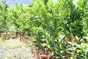 観音山レモンツリー150cmサイズ【家族と共に】