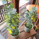 ミモザアカシア 銀葉アカシア 4号鉢サイズ 鉢植え 苗木 送料無料 薫る花 庭木 シンボルツリー 常緑樹 小型 ミニ ギン…