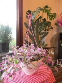 トラデスカンチア「ラベンダー」6号吊鉢