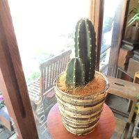 柱サボテン6号鉢サイズ