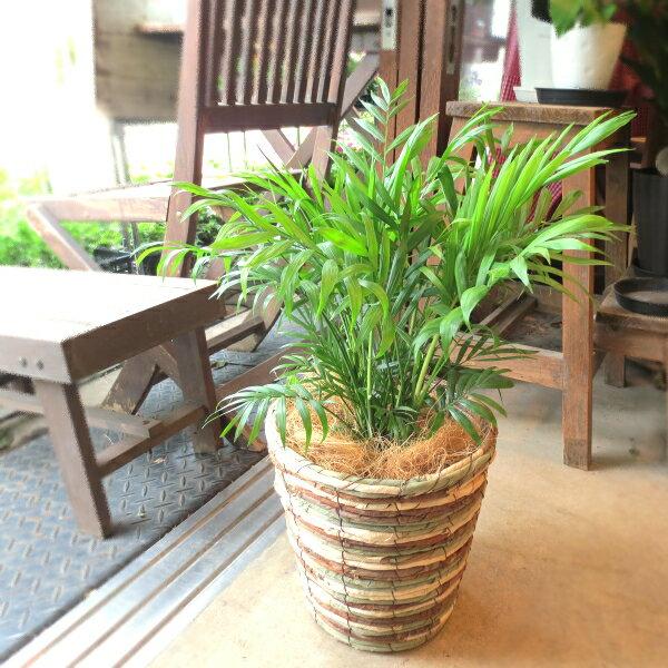 テーブルヤシ チャメドレア 6号鉢サイズ 鉢植え チャメンドラ チャマエドレア 送料無料 薫る花 観葉植物 おしゃれ インテリアグリーン 中型 小型