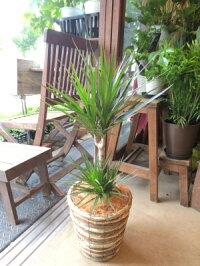 ドラセナコンシンネマルギナータ(真実の木)6号鉢サイズ