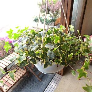 斑入り アイビー ヘデラ ゴールデンチャイルド 6号吊鉢 鉢植え 蔓性 つる性 吊り下げ ぶら下げ 壁掛け 送料無料 薫る花 観葉植物 おしゃれ インテリアグリーン 小型 ミニ