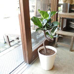 カシワバゴムの木 バンビーノ 曲がり仕立て 7号鉢サイズ 白色 セラアート鉢 鉢植え ゴムの木 送料無料 薫る花 観葉植物 おしゃれ インテリアグリーン 大型 中型 フィカス リラータ ゴムノキ