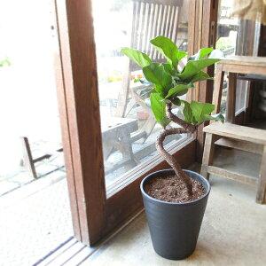 カシワバゴムの木 バンビーノ 曲がり仕立て 7号鉢サイズ 黒色 セラアート鉢 鉢植え ゴムの木 送料無料 薫る花 観葉植物 おしゃれ インテリアグリーン 大型 中型 フィカス リラータ ゴムノキ