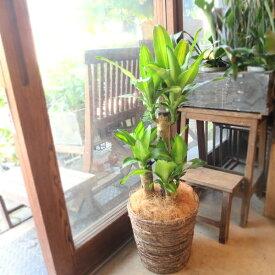 幸福の木 ドラセナ マッサンゲアナ 7号鉢サイズ 鉢植え 送料無料 薫る花 観葉植物 おしゃれ インテリアグリーン 大型 中型