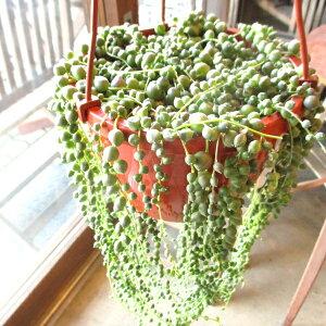グリーンネックレス 6号吊り鉢 鉢植え 多肉植物 セネシオ 緑の鈴 吊り下げ ぶら下げ 送料無料 薫る花 観葉植物 おしゃれ インテリアグリーン 小型 ミニ
