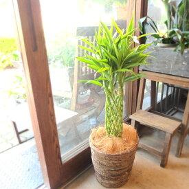 ミリオンバンブー ドラセナ サンデリアーナ 7号鉢サイズ 鉢植え 送料無料 薫る花 観葉植物 おしゃれ インテリアグリーン 大型 中型