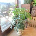 【送料無料】シェフレラ ホンコンカポック 6号鉢サイズ 鉢植え【薫る花】【観葉植物 ミニ インテリアグリーン プレゼ…