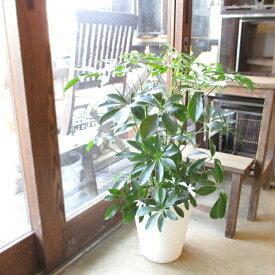 シェフレラ ホンコンカポック 7号鉢サイズ 白色 セラアート鉢 ホワイト 鉢植え 香港カポック 送料無料 薫る花 観葉植物 おしゃれ インテリアグリーン アジアンテイスト 大型 中型