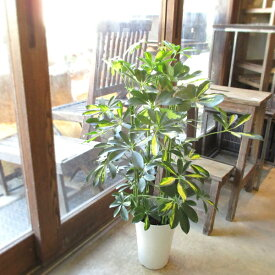 シェフレラ ホンコンカポック 斑入り 6号鉢サイズ 鉢植え 香港カポック 斑入りホンコンカポック 送料無料 薫る花 観葉植物 おしゃれ インテリアグリーン アジアンテイスト 大型 中型