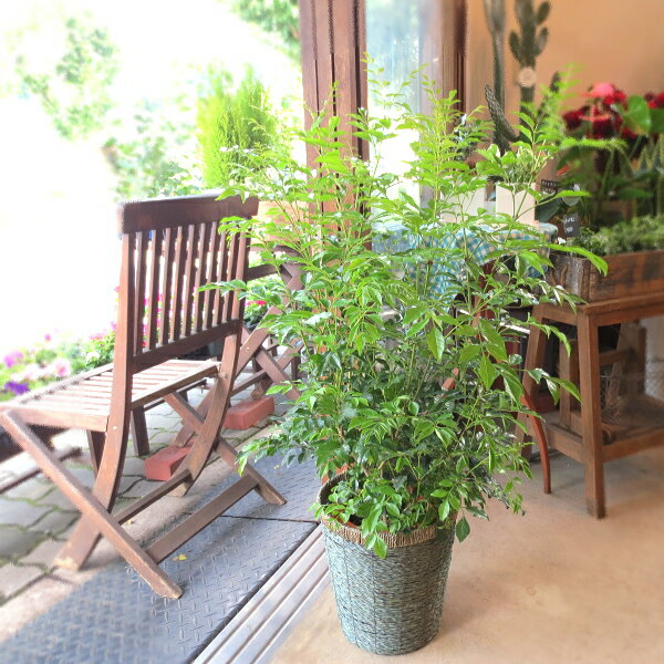 シマトネリコ 7号鉢サイズ 鉢植え 送料無料 薫る花 庭木 シンボルツリー 常緑樹 大型 中型
