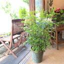 【送料無料】シンボルツリーに大人気♪シマトネリコ 7号鉢サイズ【薫る花】【観葉植物/ミニ/インテリアグリーン/プレ…