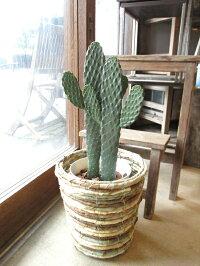 サボテン墨烏帽子スミエボシ2本立ち6号鉢サイズ鉢植え