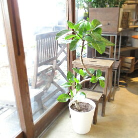 フィカス アルテシーマ 曲がり仕立て 8号鉢サイズ 白色 セラアート鉢 鉢植え バリエガータ 斑入りゴムの木 送料無料 薫る花 観葉植物 おしゃれ インテリアグリーン 大型 中型 アルテシーマゴム ゴムノキ
