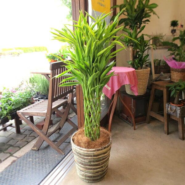 ミリオンバンブー ドラセナ サンデリアーナ 8号鉢サイズ 鉢植え 送料無料 薫る花 観葉植物 おしゃれ インテリアグリーン 大型 中型