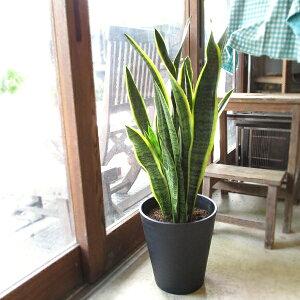 サンスベリア ローレンティー 8号鉢サイズ 黒色 セラアート鉢 鉢植え サンセベリア ローレンチー トラノオ 送料無料 薫る花 観葉植物 おしゃれ インテリアグリーン 大型 中型
