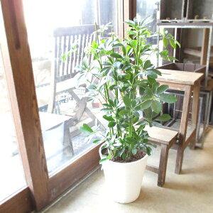 シェフレラ ホンコンカポック 8号鉢サイズ 白色 セラアート鉢 ホワイト 鉢植え 香港カポック 送料無料 薫る花 観葉植物 おしゃれ インテリアグリーン アジアンテイスト 大型 中型