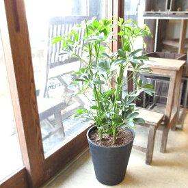 シェフレラ ホンコンカポック 8号鉢サイズ 黒色 セラアート鉢 ブラック 鉢植え 香港カポック 送料無料 薫る花 観葉植物 おしゃれ インテリアグリーン アジアンテイスト 大型 中型