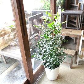 シルクジャスミン 月橘 ゲッキツ 8号鉢サイズ 白色 セラアート鉢 鉢植え 白いお花と甘い香り 送料無料 薫る花 観葉植物 おしゃれ インテリアグリーン 大型 中型