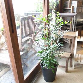 シルクジャスミン 月橘 ゲッキツ 8号鉢サイズ 黒色 セラアート鉢 鉢植え 白いお花と甘い香り 送料無料 薫る花 観葉植物 おしゃれ インテリアグリーン 大型 中型
