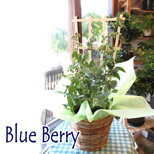 実付き ブルーベリー 2品種植え パティスリーベリー 5号鉢サイズ 鉢植え 送料無料 薫る花 庭木 シンボルツリー 果樹 フルーツ 鉢花 ベランダ ガーデン ガーデニング 父の日特集 早割り