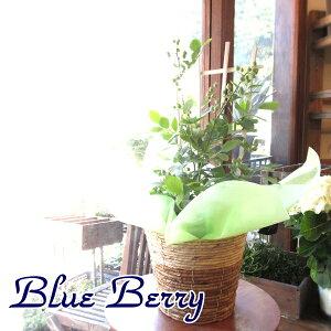 実付き ブルーベリー 5号鉢サイズ 鉢植え 送料無料 薫る花 庭木 シンボルツリー 果樹 フルーツ 鉢花 ベランダ ガーデン ガーデニング 父の日特集 早割り
