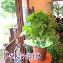 実付き ぶどうの木 デラウェア 6号鉢サイズ ブドウ 葡萄 鉢植え 送料無料 薫る花 庭木 シンボルツリー 果樹 フルーツ …