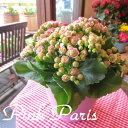 【送料無料】薔薇咲きカランコエ「クイーンローズピンクパリ」5.5号鉢サイズ(鉢カバー付き)【薫る花】【観葉植物/ミ…